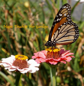 Monarch in the Garden @ Magic Touch & Her Gardens